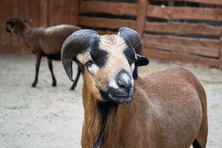 barbary: Barbary sheep - Africa Stock Photo