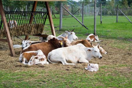Dwarf Zebu cattle