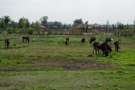 occur: Gnu Brown - Occur in Africa