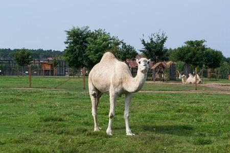 herbivores: Camel - single individual