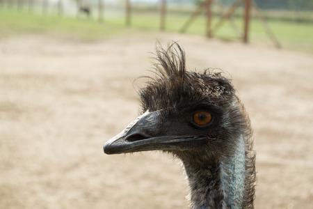 Ostrich Nandu - South America