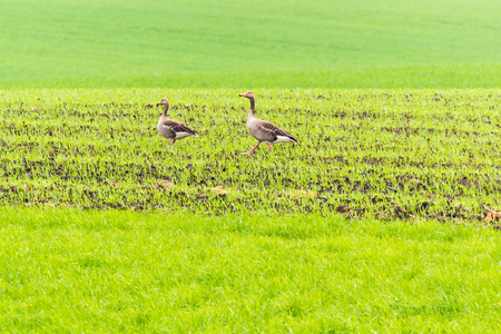 Wild geese on a spring field.