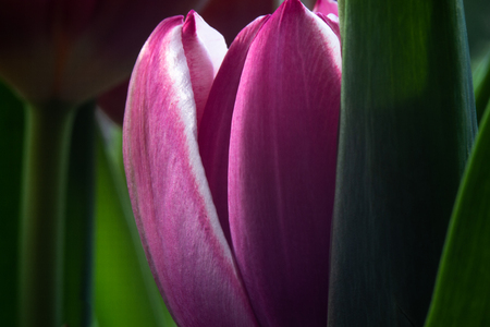 Spring colors of tulip flowers