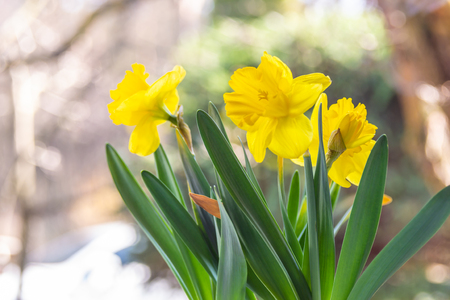 Backgrounds with colorful blooming daffodils