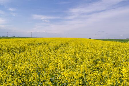 Spring field with a blossoming rape