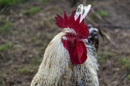 Natural free range poultry farming.