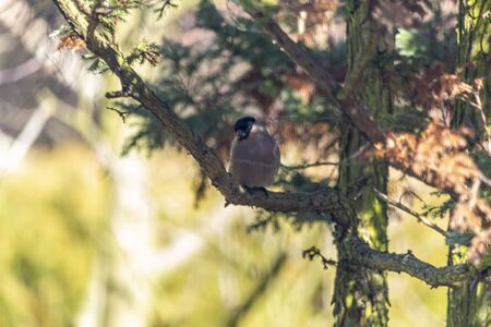 Bullfinch, bullfinch - a species of small bird of the Psoriasis family.