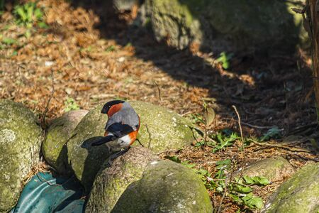 Bullfinch, bullfinch - a species of small bird of the Psoriasis family. 스톡 콘텐츠