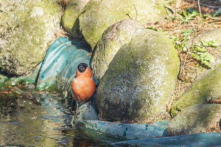 Bullfinch, bullfinch - a species of small bird of the Psoriasis family. Stock Photo