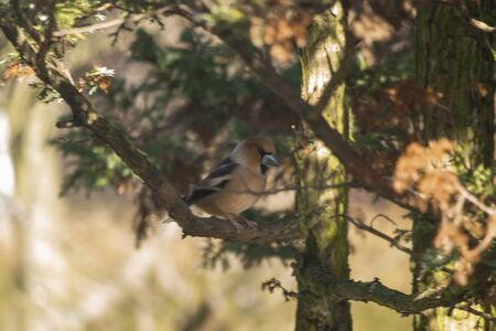 Hawfinch, Hawfinch, pygmy eater, Eurasian hawkweed - a species of small bird of the Psoriasis family, the only representative of the monotype genus Coccothraustes.