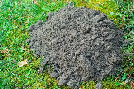 Mound of soil dug by mole.