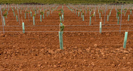 Young Vineyard  Vertical Shoot Positioned Trellis winegrape