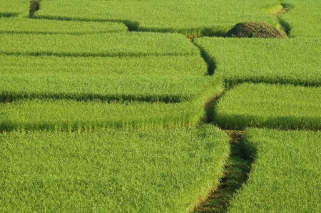 Rice fields in thailand Stock Photo - 16344484