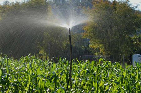 springer: Irrigation  Corn by Springer
