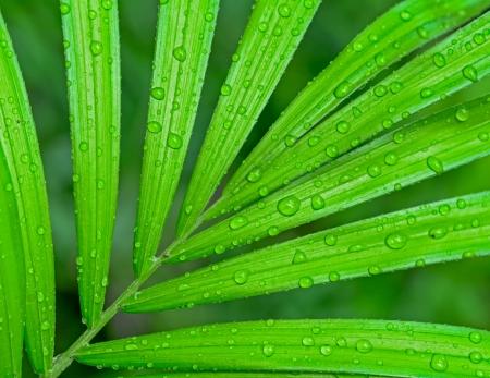 mojada: gota de agua en hoja de palma Foto de archivo