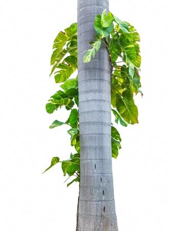 bark rain tree: Palm tree isolated on white background