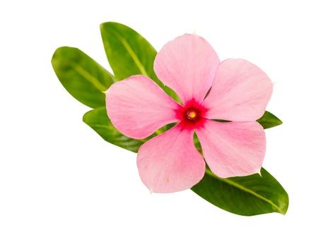 true myrtle: periwinkle flower