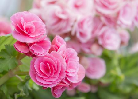 begonia: pink begonia flowering plant - family Begoniaceae