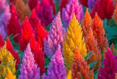 celosia: plumped celosia flower  Stock Photo