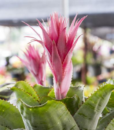 guzmania: Bromeliad pink flower