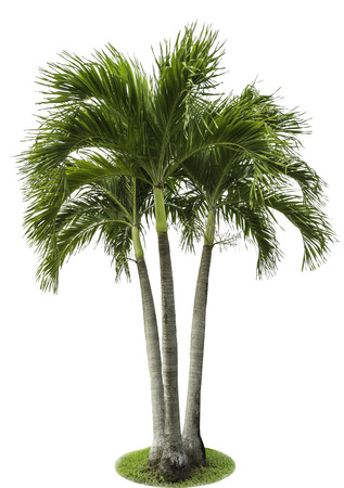 'palm trees': betel palm tree isolated on white Stock Photo