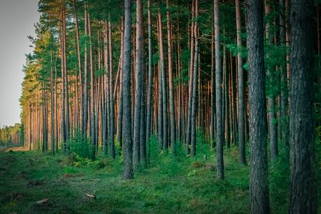 felled: Pine forest with felled tree stumps in Latvia Stock Photo