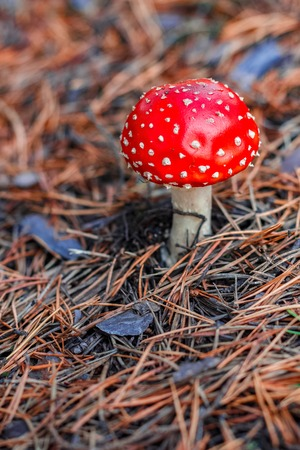 Amanita Muscaria. Red poisonous mushroom in European forest Stock Photo