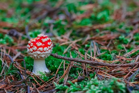 Amanita Muscaria. Red poisonous mushroom in European forest 写真素材