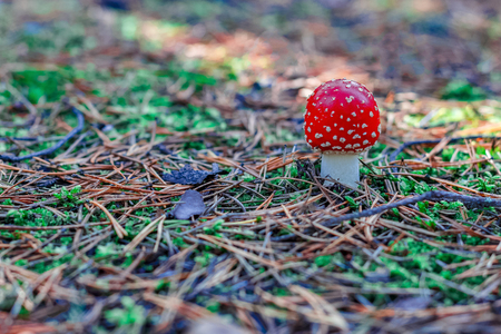 Amanita Muscaria. Red poisonous mushroom in European forest Фото со стока