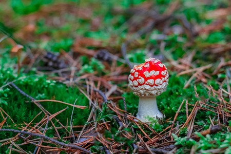 Amanita Muscaria. Red poisonous mushroom in European forest Stock fotó