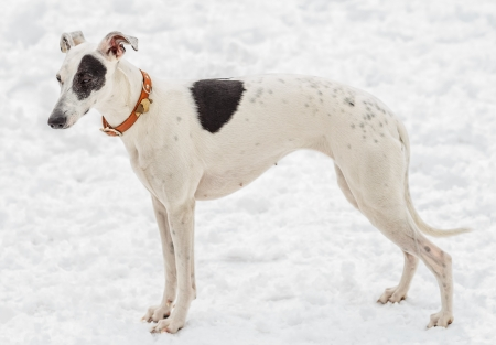 Whippet female  Snow  Spring of 2013  Vitebsk  Belarus  photo