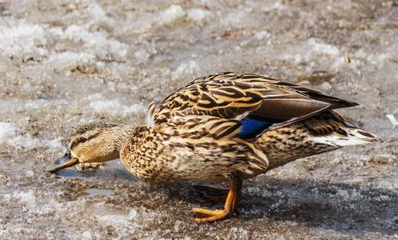 Female mallard duck walks on dirty snow  Minsk  2013 Spring  Belarus  photo