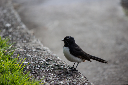 Willie Wagtail bird on curbside