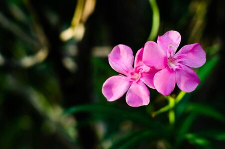 Beautiful pink flowers in the morning.Pink flowers in the morning garden.