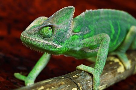 changing form: Colorful chameleon over red background.