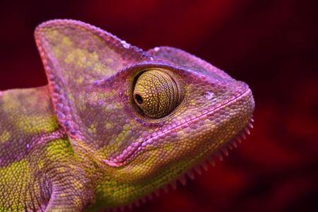 Chameleon Stock Photo - 6721674