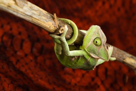 changing form: Chameleon Stock Photo