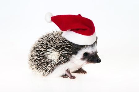 Christmas hedgehog photo