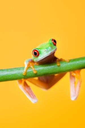 grenouille: Grenouille verte