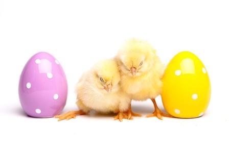 Yellow chick photo