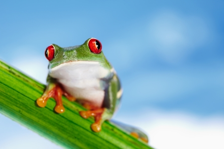 Green Frog with red eye