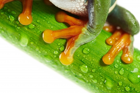 Green Frog with red eye  photo