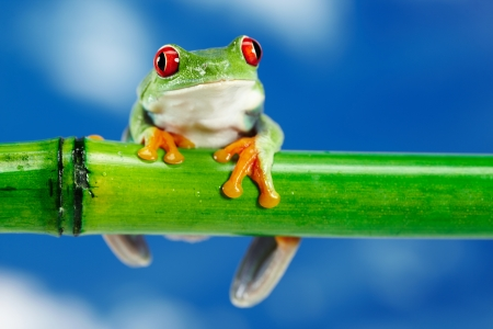 leap: Green Frog with red eye