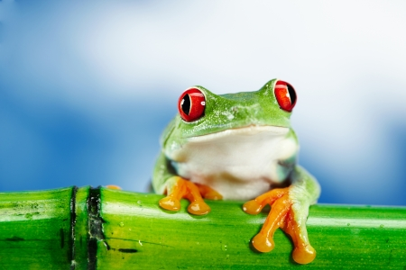 common hop: Green Frog with red eye