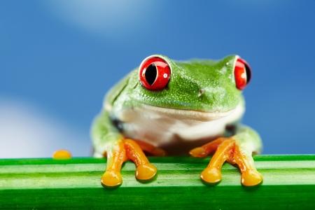blue frog: Rana verde de ojos rojos