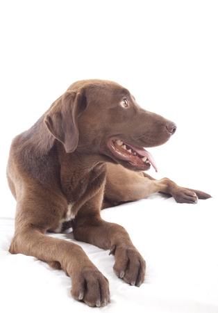 labrador retriever on white background Stock Photo - 14387370