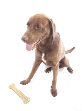 labrador retriever on white background Stock Photo - 14378642