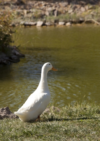 cackle: White goose standing on grass