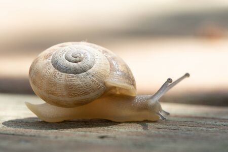 The common garden snail. Helix aspersa