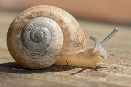 The common garden snail. Helix aspersa
